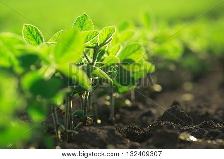 Young soybean plants growing in cultivated field soybean rows in agricultural field in sunset selective focus