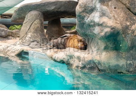 Fur Seal From South American (arctocephalus Australis)