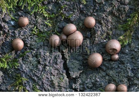 Mushrooms (slime mould Lycogala epidendrum) on an old stump poster
