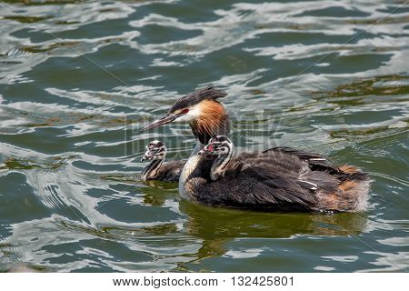 Great crested grebe or Podiceps cristatus with nestlings on the water