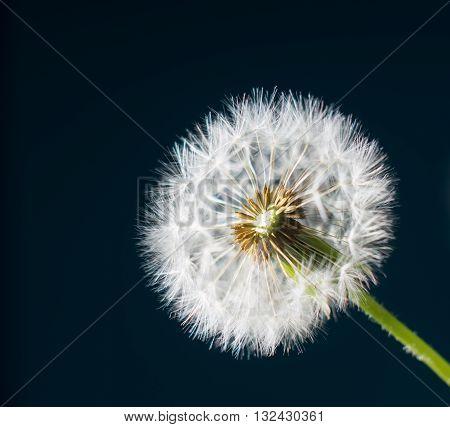 Dandelion abstract dark blue background. White blowball over dark sky. Shallow depth of field.