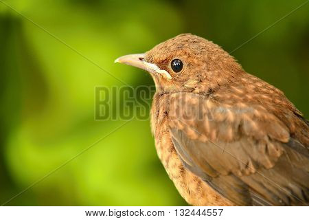 Closeup portrait of young brown Thrush (Turdus Philomelos) bird on green background. Portrait of thrush. Brown Thrush on green nature background.