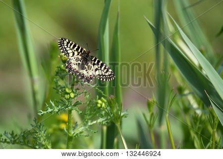 Southern Festoon or Zerynthia polyxena butterfly on meadow