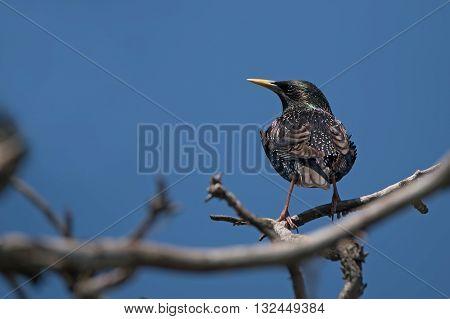 Common starling or Sturnus vulgaris sits on twig
