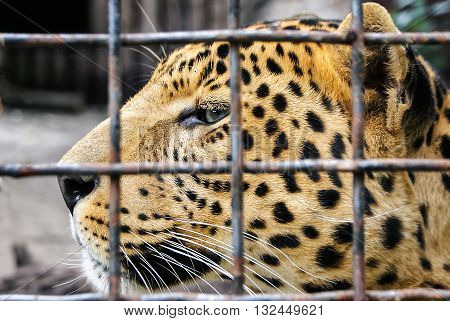 Leopard head closeup. Leopard in cage at zoo. Leopard (Panthera pardus) in captivity. A captive big cat with a beautiful coat behind bars.