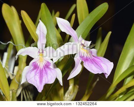 Outstanding Miltonia Orchid - Miltonia spectabilis var. moreliana From Brazil