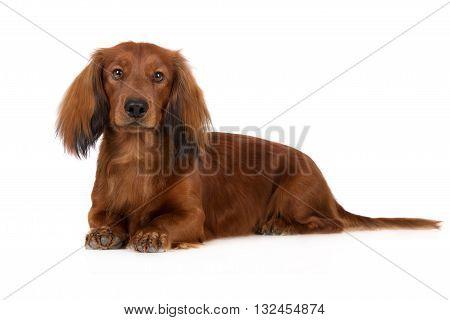 adorable dachshund dog posing on white background