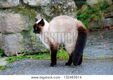 THE CAT WITH PUREBRED WITH BLUE EYES AND BRISTLY HAIRS