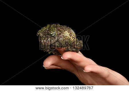 Vietnamese Mossy Frog on Hand Theloderma corticale or Tonkin Bug-eyed Frog Isolated on Black background