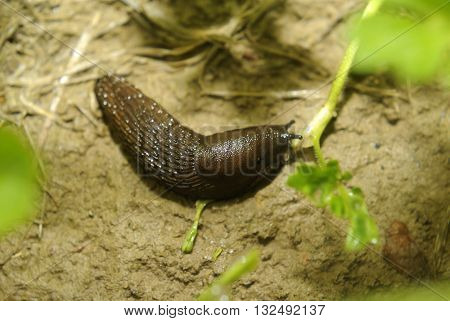 Spanish slug (Arion vulgaris) invasion in garden. Invasive slug. Garden problem in Europe.