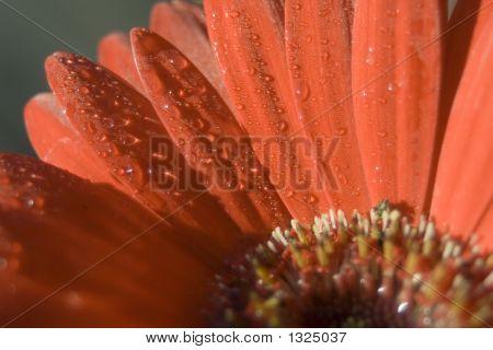 Gerber Daisy Closeup