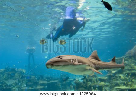 carpet shark and divers swimming over reef poster