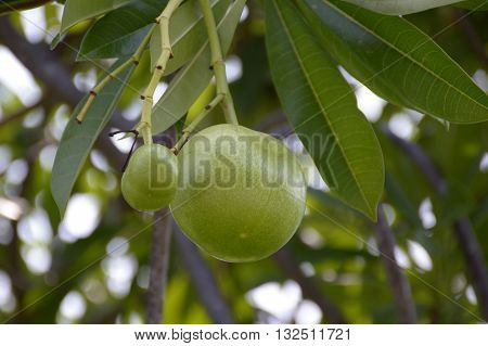 close up fresh green Cerbera odollam fruit in nature garden