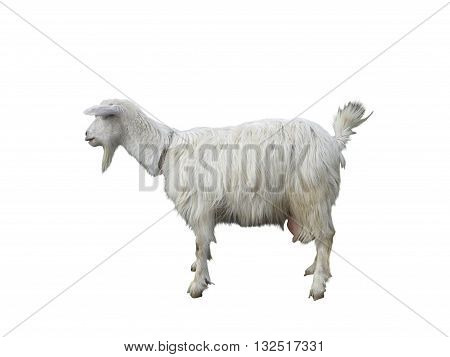 Young Goat In Profile Isolatet Over White Background