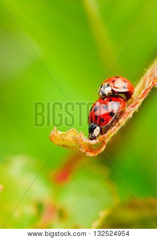 Two Red Copulating Ladybugs On Fresh Spring Leaf