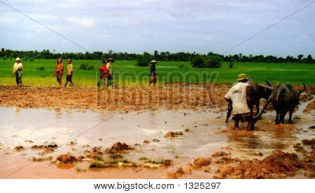 farmers cultivate a rice paddy in siem