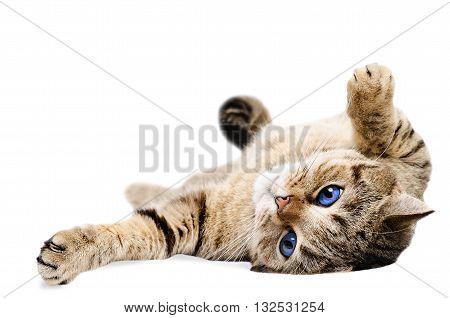 Cat Scottish Straight, lying on his back, isolated on white background