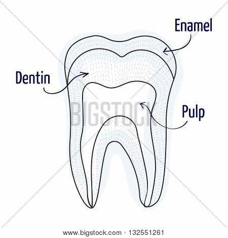 Tooth structure illustration. Vector illustration. Human teeth structure.