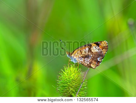 A closer photo of Silvery Checkerspot butterfly