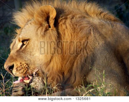 Lion Eating