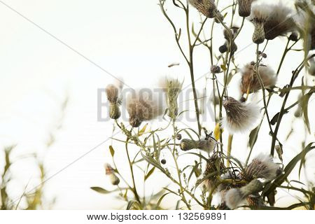 Bunch of thistle fluffy flowers in the wind against the light white sky. Anxious close-up background