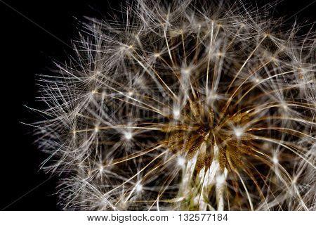 Dandelion Seed head (Taraxacum officinale) close up center