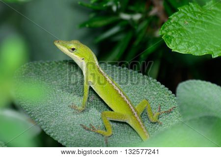Small Green Anole (Anolis carolinensis) horizontal on a sage leaf