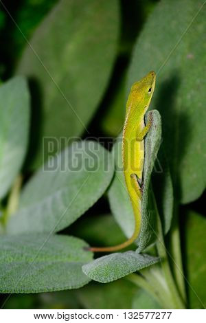 Small Green Anole (Anolis carolinensis) vertical on a sage leaf