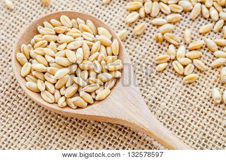Closeup organic whole grain wheat kernels in wooden spoon on sack background.