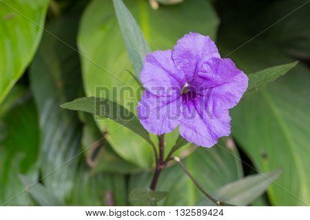 Ruellia flower Purple bloom in the morning. (Ruellia tuberosa Linn. Waterkanon Watrakanu Feverroot Popping pod) : blurred background : select focus front Ruellia. poster