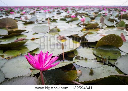 Beautiful pink lotus flowers in the lake stock photo
