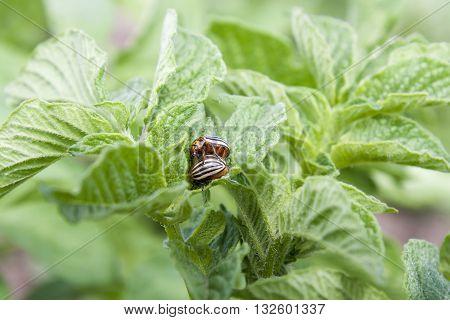 Two Colorado Beetles (potato Beetle) Sitting On Potato Leaves.