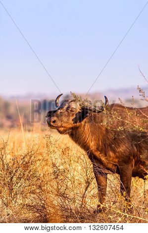 A close up of a Wild African Buffalo with copy space