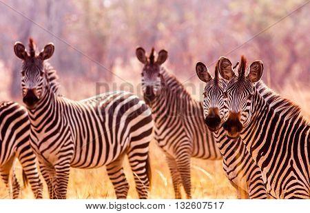 Herd Of Wild Zebra In The African Savannah