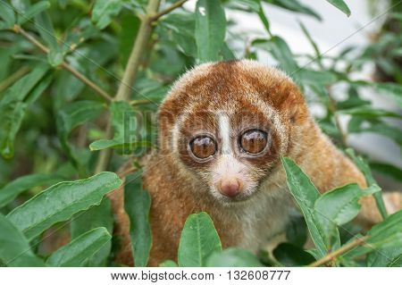 Slow Loris monkey with big eyes on tree with green leaf as background. Slow lorises often hang upside-down from branches by their feet so they can use both hands to eat. poster