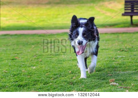 Running toward funny collie dog. Purebred collie border collie.