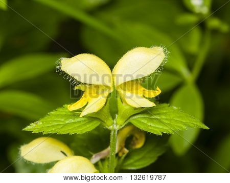 Yellow archangel or artillery plant Lamium Galeobdolon flowers and leaves close-up selective focus shallow DOF