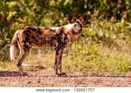 An endangered wild African wild dog hunting
