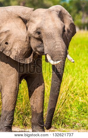 Close up of a Wild African elephant at a waterhole