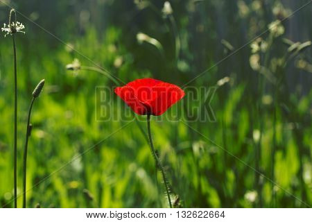 Red poppy on green weeds field. Poppy flowers.Close up poppy head. red poppy.Red poppy flowers field. Papaver rhoeas