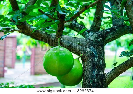 Calabash Tree and Fruit (Crescentia L). Calabash is primarily used for utensils, such as cups, bowls, and basins