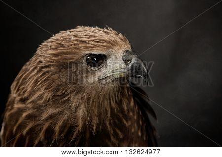 Closeup hawk , bird on black background