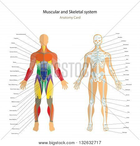 Anatomy guide. Male skeleton and muscles map with explanations. Front view. Vector Illustration.