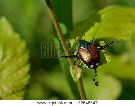Destructive Japanese beetle defecating, pooping in outdoor setting