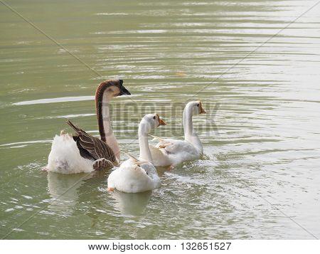 Thailand goose , animal ,Three ducks in pond