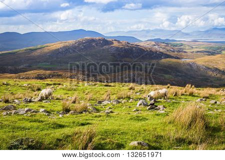 Colourful Undulating Irish Landscape In Kerry With Grazing Sheep In Ireland