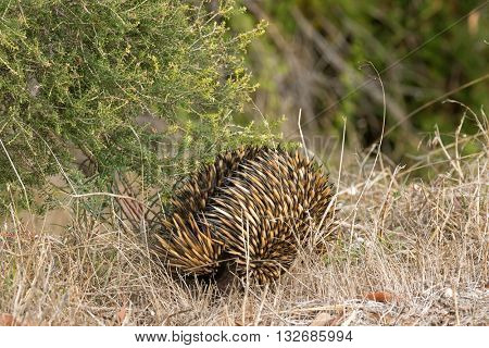 Closeup of spines and fur of Echidna (spiny anteaters) walking in the wild in Australia