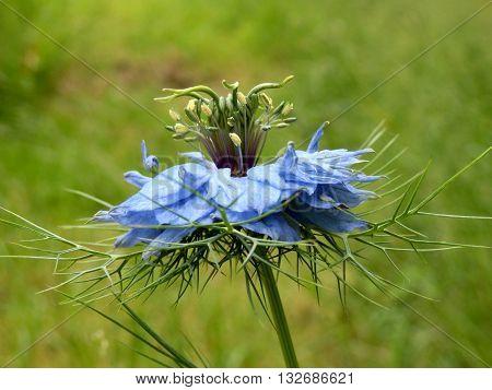 Close up of a Cornflower (Centaurea cyanus) growing wild in a meadow