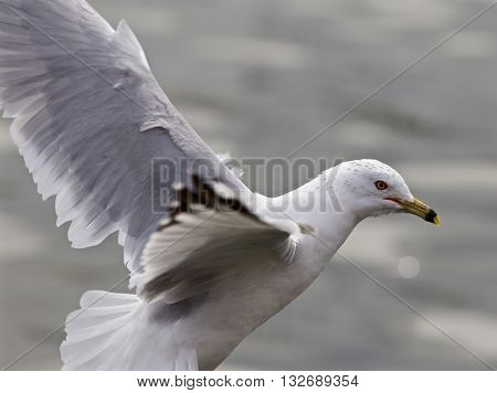 Beautful isolated photo of the gull with the wings