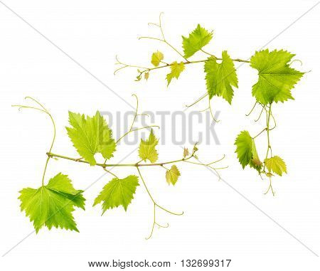 Grape vine leaves isolated on white background. Fresh green leaves. Vine sprig